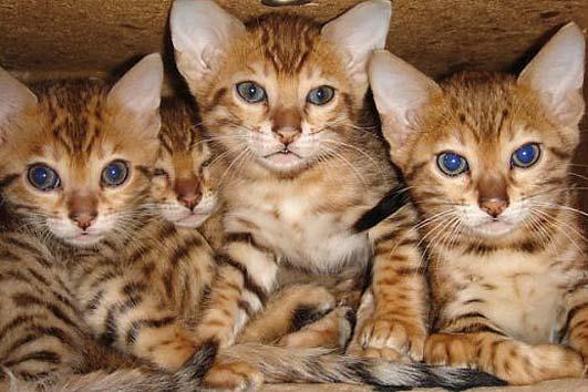tierforum bengalkatzen inserat von trickbetr ger aus kamerun tieranzeige l schen. Black Bedroom Furniture Sets. Home Design Ideas
