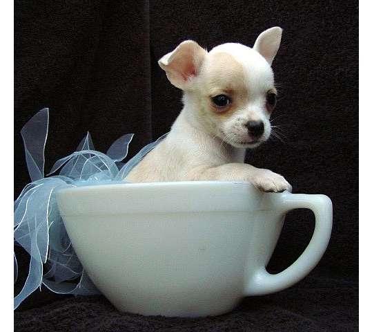 Tierforum 171 Tee Tasse 187 Mini Chihuahua Welpen Hundeinserat Nr 46559 L 246 Schen