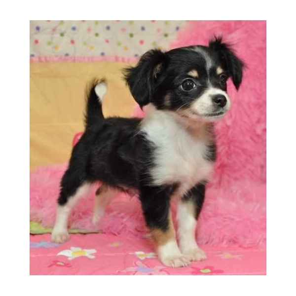Tierforum Reinrassige Chihuahua Welpen Zu Verkaufen 200 Euros