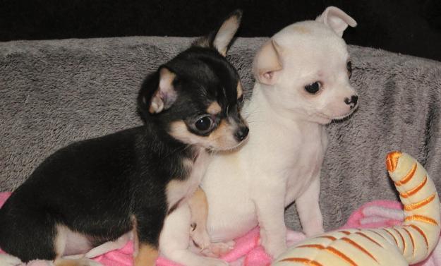 Tierforum Chihuahua Welpen Zu Verkaufen Vorsicht Betruger