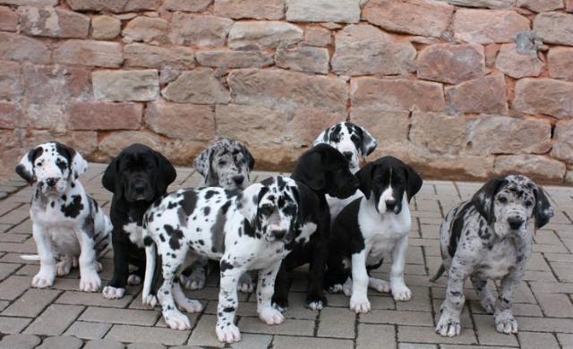 Http Tierforum Tier Inserate Ch Bilder Doggen 49926 Jpg Deutsche Dogge Welpen Deutsche Doggen Deutsche Dogge