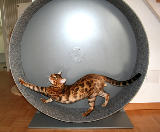 Tierforum cat wheel laufrad für katzen das perfekte