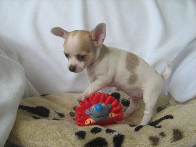 Tierforum Mini Chihuahua Welpen Herkunft Unklar Tierinserate Falschangaben