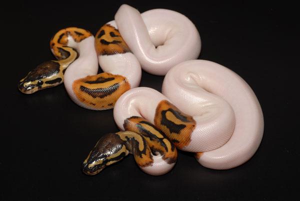 Schlangen preise