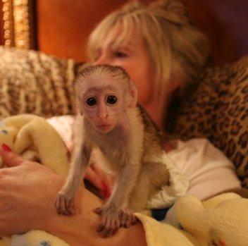 tierforum baby kapuziner affen zu verkaufen vorsicht vor tierinserate betr gern. Black Bedroom Furniture Sets. Home Design Ideas