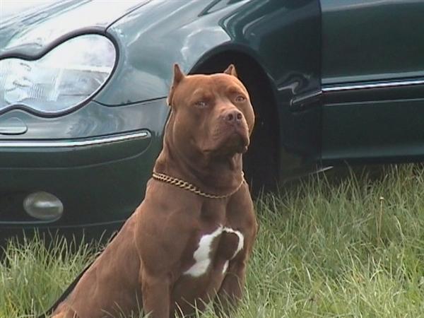 Tierforum American Pitbull Welpen Inserat Hundeinserat Bitte Loschen
