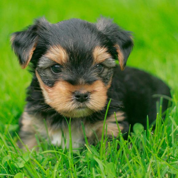 Tierforum Yorkshire Terrier Welpen Zu Verkaufen Dubioser Tier Und Hundehandel