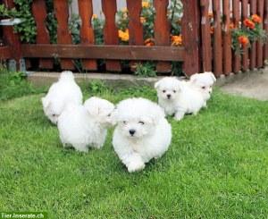Tierforum Mini Malteser Welpen Ganz Grauenhaft Da Werden